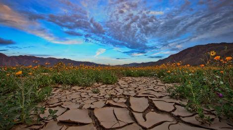 Flores silvestres desabrochando ao nascer do sol no Anza-Borrego Desert State Park, no sul da Califórnia
