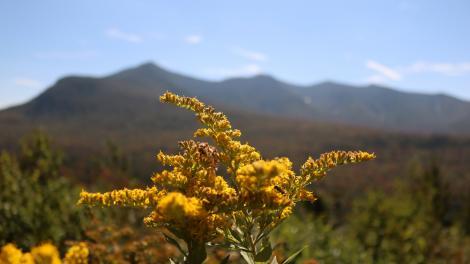 Solidagos dourados na Green Mountain National Forest