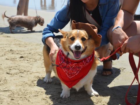 Participante orgulhoso no Corgi Beach Day (Dia do Corgi na praia)