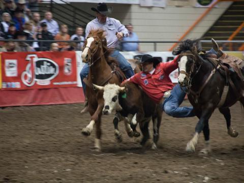 Ação na briga com novilho no Show e rodeio de Black Hills