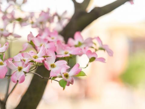 Cornus em flor em Knoxville, Tennessee